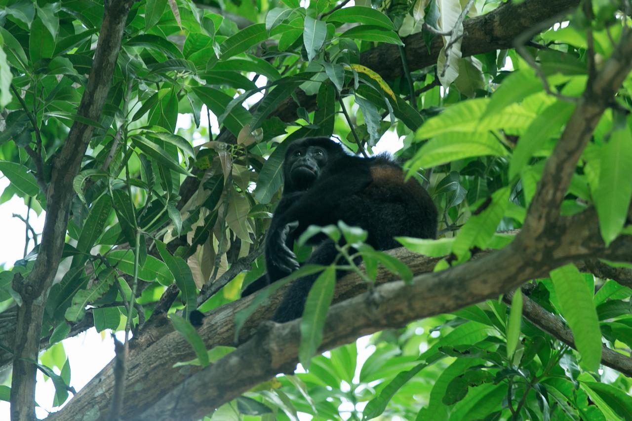 howler monkey Tamarindo beach